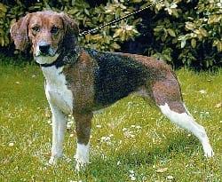 beagle_xarier